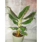 ミニバナナ 苗木 鉢植え 果樹 5号鉢