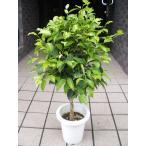 ベンジャミン 観葉植物 鉢植え 5号鉢