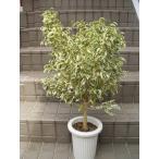 ベンジャミン スターライト 観葉植物 ベンジャミンゴムノキノ 鉢植え 7号鉢