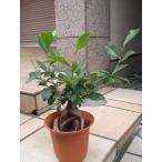 ガジュマル 観葉植物 5号鉢