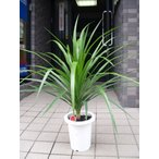 ドラセナ・カンボジアーナ 観葉植物 7号プラ鉢 陶器鉢変更可