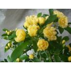 モッコウバラ 花芽付き バラ苗 黄モッコウ 鉢植え 6号鉢