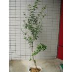 オリーブの木 マンザニロ 大株 苗木 果樹 観葉植物 鉢植え 7号ポリポット