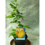 レモン 苗木 リスボン 果樹 鉢植え