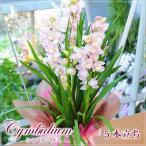 シンビジュームギフト シンビジウム ピンク系 5本立ち 蘭鉢植え ギフト お歳暮 贈り物