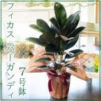 フィカス バーガンディ 7号鉢 ゴムの木 観葉植物 開店祝い 移転祝い 新築祝い