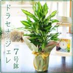 ドラセナ ジェレ 7号鉢 観葉植物 開店祝い 移転祝い 新築祝い