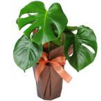 観葉植物 モンステラ 6号鉢  鉢  フラワーギフト おしゃれ インテリア 室内