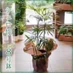 シュロ竹 8号鉢 シュロチク 棕櫚竹 観葉植物 開店祝い 移転祝い 新築祝い