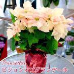 ポインセチア 鉢植え 5号鉢 クリスマスプレゼント ポインセチアギフト ビジョンオブグランディール 生花