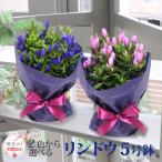 花 ギフト プレゼント 数量限定 鉢花 敬老 花 りんどう 5号鉢 ブルー ピンク リンドウ 竜胆 送料無料
