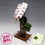 胡蝶蘭 大輪 リップ  「和鉢 かぐや」(敷物付) 1本立/ 開店・開院・新築・移転・引越・誕生日・結婚・退職・還暦祝い、敬老の日・母の日。