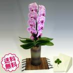 胡蝶蘭 大輪 ピンク 「和鉢 かぐや」(敷物付) 1本立/ 開店・開院・新築・移転・引越・誕生日・結婚・退職・還暦祝い、敬老の日・母の日。