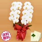 胡蝶蘭 大輪 白 2本立 18輪前後(蕾含む)/ 開店・開院・新築・移転・引越・誕生日・結婚・退職・還暦祝い、敬老の日・母の日、お悔やみのご供花。
