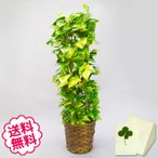 観葉植物 ポトス8号(籐かご、皿付) 開店・引越・新築・結婚祝い