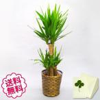 観葉植物 ユッカ8号(籐かご、皿付) 開店・引越・新築・結婚祝い
