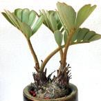 観葉植物・ザミアプミラ・メキシコソテツ