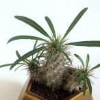 塊根植物・パキポディウム・ラメリー