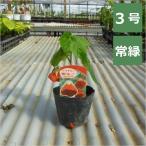 アブチロン 姫リンゴ 3号 9cmポット / 花苗・花木