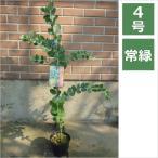 アカシア ポダリリーフォリア 4号 12cm / 花苗・花木
