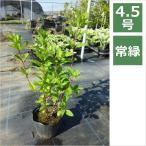 ノリウツギ ピンキーウィンキー 4.5号 13.5cm / 花苗・花木・紫陽花・アジサイ