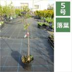 サンショウ ブドウサンショウ 5号 15cm / 花苗・花木・山椒・実のなる木