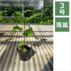 ラズベリー ブラックベリー 3号 9cmポット / 苗木・果樹苗・果樹木・ベランダガーデン
