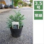 コニファー ボールバード 3.5号 10.5cm / 庭木・垣根・シンボルツリー・ベランダガーデン