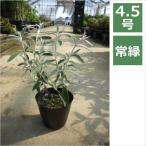 ブッドレア シルバーアニバーサリー 4.5号 13.5cm / 花苗・花木・庭木