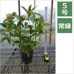 千両(黄色実) 5号 15cm / 花苗・花木・庭木・季節の寄せ植え