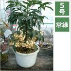 万両(白大実) 5号 15cm / 花苗・花木・庭木・季節の寄せ植え