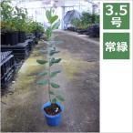 フェイジョア アポロ 3.5号 10.5cm / 花苗・花木・実のなる木