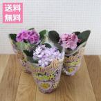 (送料無料) セントポーリア おまかせ 3鉢セット 3.5号 / 花苗