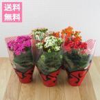 (送料無料) 八重咲き カランコエ ローズフラワー 5鉢セット 3.5号 / 花苗