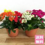 (送料無料) 八重咲き カランコエ ローズフラワー 5.5号 3色寄せ鉢え