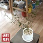 (送料無料) ソフォラ リトルベイビー 4号 選べるこだわりの植木鉢!/ 観葉植物・おしゃれ・陶器鉢・インテリア