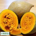 白栗かぼちゃ 10kg 自然農法 (青森県 小泉農園) 産地直送 農薬不使用(無農薬)