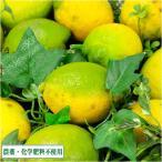 【セール】レモン A・B品サイズ混合 10kg 県特別栽培(無・無) (熊本県 オレンジヒルズ) 産地直送
