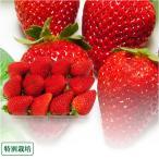 特別栽培 いちご 1kg (250g×4パック)(愛知県 岡本農園) 低農薬 イチゴ 減農薬 送料無料