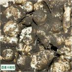 菊芋 (土付き) 5kg 農薬不使用(無農薬) (青森県 須藤農園) 産地直送
