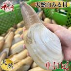 【愛知県三河湾産】白ミル貝 中1個