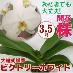 育ててみましょう!大輪胡蝶蘭/ビクトリーホワイト3.5号開花株 他品種も入れてよりどり3個以上購入で送料無料