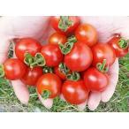 20%OFF 横井さんのフルーツトマト(500g)
