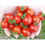 20%OFF 横井さんのフルーツトマト(3kg)