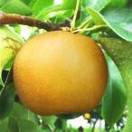 福島県産 梨 もぎたて完熟 特玉 約3kg 9〜11玉 送料無料 阿部農縁 産地直送 なし ナシ