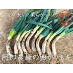 【送料無料 12月発送予約注文】冬の鍋物にピッタリの甘くて柔らかいねぎ♪土付き曲がりネギ40本(約6kg)福島県須賀川市の伝統野菜