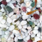 (メダカ) めだか紀州色彩セット 10匹セット / ミックス 淡水魚
