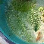 (水草) マツモ 5本セット  /  松藻 金魚藻 水草 浮草 鉢 水槽 メダカ