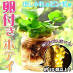 (水草) ホテイアオイ めだかの卵付き 1株 + 観察用瓶セット  / ホテイ草 水草 浮草 たまご 瓶 メダカ