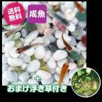 (メダカ) めだか紀州色彩セット 20匹セット + おまけ浮き草付き / ミックス 浮き草 水草 淡水魚